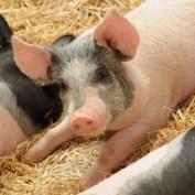 antibiotics in livestock