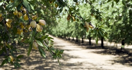 california almond