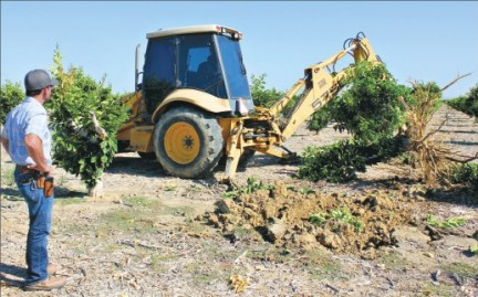 A backhoe removes a 12-year-old Valencia orange tree at a Kern County grove owned by John Gless, left. The 60-acre citrus grove was pulled out because of diminished water availability. Photo/Cecilia Parsons