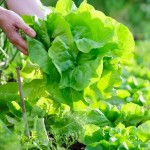Hand picked green leafy vegetable.