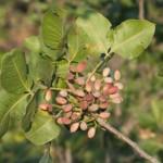 pistachio on tree