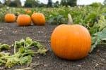 pumpkin patch pumpkins ready to harvest