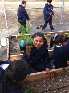 It's carrot season at a school garden in Pittsburg, CA (Courtesy CDFA)