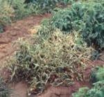Curly Top Virus-Tomato (Courtesy cdfa.gov)