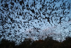 Mexican free-tailed bats exiting Bracken Bat Cave Photo credit: USFWS/Ann Froschauer