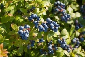 Blueberry Damage