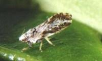 Adult Asian citrus psyllid, Diaphorina citri Kuwayama. Photograph by Douglas L. Caldwell, University of Florida.