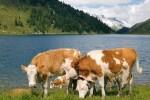 brown-white cows by a blue mountain lake wotus