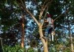 Arborist in a Maple Tree
