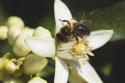 bee pollination of an orange tree flower