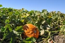 Pumpkin on vine