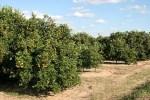 Florida orange trees citrus growers