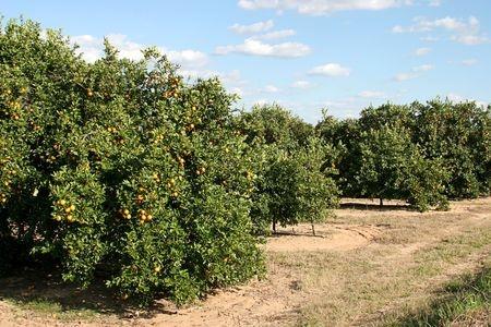 Central Valley citrus