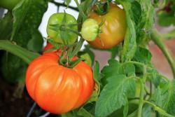 Home grown tomato - Copy