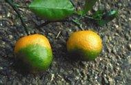 Huanglongbing on Mandarin Oranges