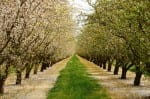 Almond orchard in the Central California agricultural area