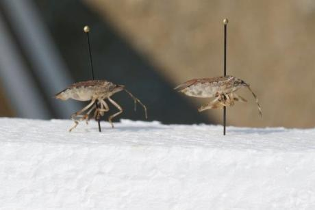 BM Stink Bug Profile