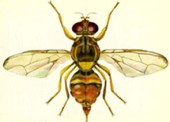 guava_fruit_fly_image