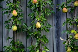 pear tree growing on a wall
