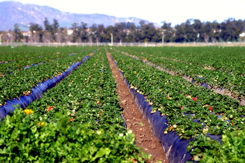 farming strawberry plants on plastic