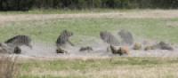 Feral hogs captured by a drop-net