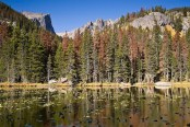 Pine Beetle Damaged Forest