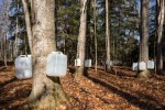 Tapping Sugar Maple Trees for Sap