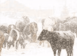 cows in cold weather