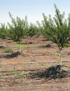 More-efficient irrigation technologies -- like this drip system in an almond orchard in Yolo County -- save water, conserve energy and reduce greenhouse gas emissions.