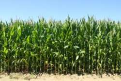 corn facts