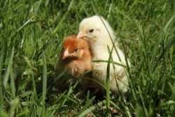 Chicks on grass