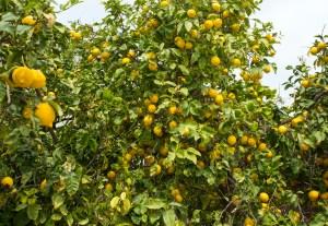 citrus thrips