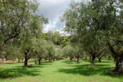 Olive trees rows