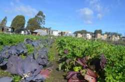Field crops on the Homeless Garden Project. NRCS photo.