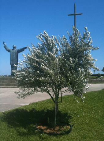 olive tree-st. augustine-fl