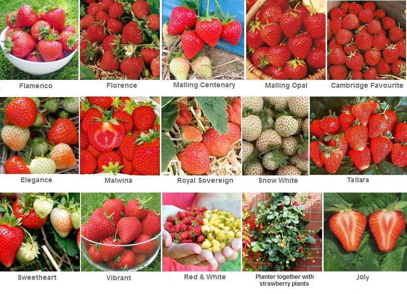 Homegrown Strawberries | Merlo Farming Group