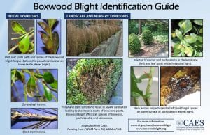 Boxwood Blight Identification Guide