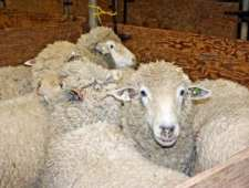 Ewes waiting for shearing at the UC Hopland Research and Extension Center Sheep Shearing School. (Photo: Evett Kilmartin)