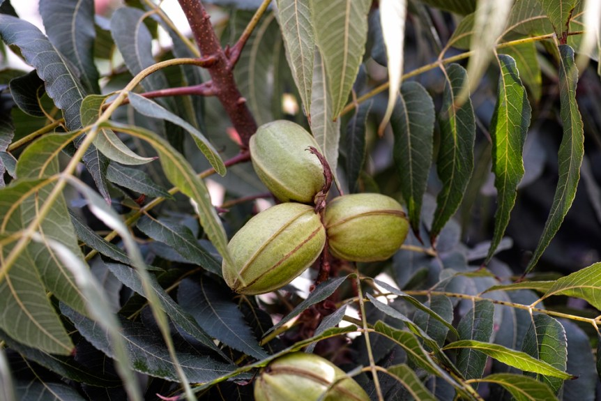 Young pecan tree nuts growing on tree