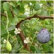 Plum ripe and unripe-USDA