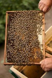 Beekeeper holding an honeycomb