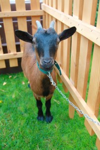 Brown goat in the pen