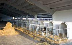 Calves cages-2