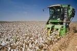 Cotton picking combine harvesting field
