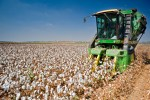 Cotton picking combine harvesting field