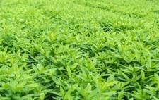 Crotalaria, cover crop keeps soil moisture, improves damage farmland, treats sour and acid soil.  soil health