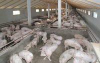 Pig hogs farm