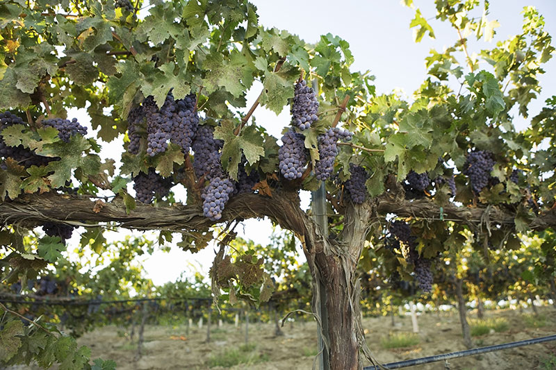Narrowing Down Potential Vectors for Grapevine Red Blotch