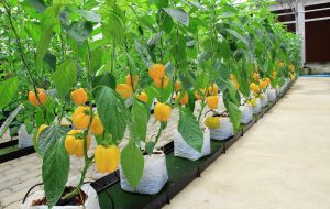 grow veggies