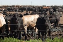 beef exports trade